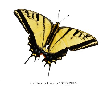The two-tailed swallowtail butterfly, Papilio multicaudata, isolated on white background. The largest of North American tiger sawllowtails. This butterfly actually has 3 tailes on each wing