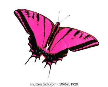 Two-tailed swallowtail butterfly, Papilio multicaudata, isolated on white background. The largest of the US tiger sawllowtails, this one has even three tails on each wing. Color change to magenta