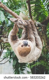 two-toed sloth hanging on the tree in the zoo - animal