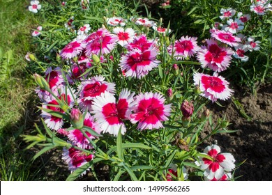 Two-tone pink white-edged flower dianthus barbatus, sweet William is a popular ornamental garden plant.