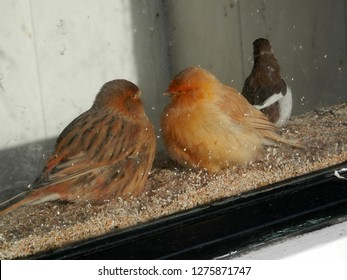 Twu fluffed up orange canaries in glass fronted aviary in Dutch village