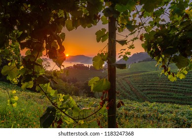 Txakoli white wine vineyards at sunrise, Getaria, Spain