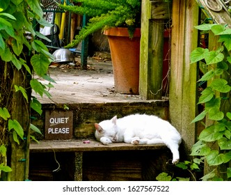 Tybee Island, Georgia / USA - August 19 2012: Adorable white cat sleeps on rustic wooden step surrounded by green leaves, next to a sign saying Quiet Please. Tranquil peaceful concept.