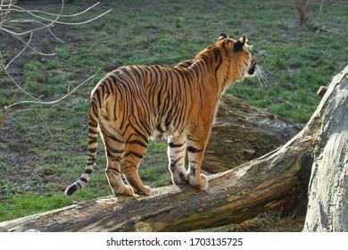velký tygr stojí na kládě venku - Shutterstock ID 1703135725