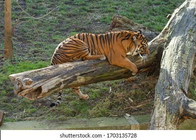 velký tygr stojí na kládě venku - Shutterstock ID 1703135728