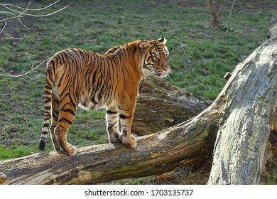 velký tygr stojí na kládě venku - Shutterstock ID 1703135737