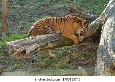 velký tygr stojí na kládě venku - Shutterstock ID 1703135743
