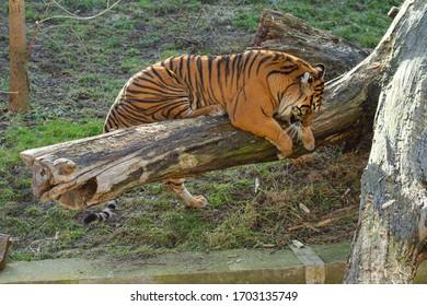 velký tygr stojí na kládě venku - Shutterstock ID 1703135749