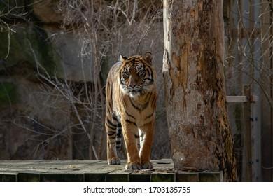velký tygr stojí na kládě venku - Shutterstock ID 1703135755