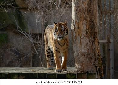 velký tygr stojí na kládě venku - Shutterstock ID 1703135761