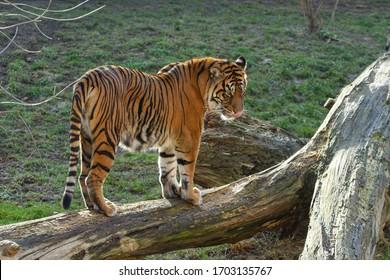 velký tygr stojí na kládě venku - Shutterstock ID 1703135767