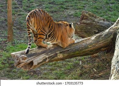 velký tygr stojí na kládě venku - Shutterstock ID 1703135773