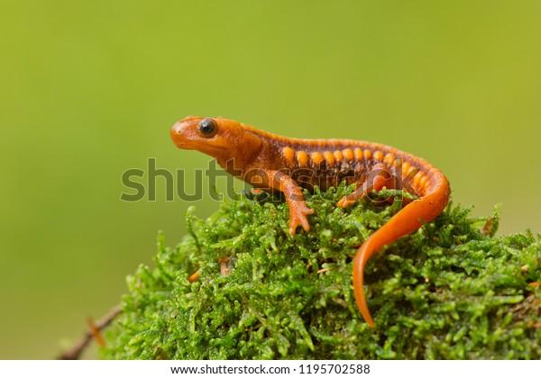 Tylototriton shanjing, the emperor newt, Mandarin newt or Mandarin salamander, is a highly toxic newt native to China.