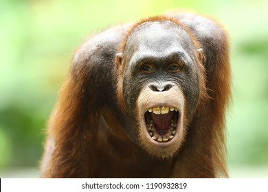is a type of great ape with long arms and reddish or brown hair, which lives in tropical forests of Indonesia and Malaysia, especially on the islands of Borneo Kalimantan and Sumatra