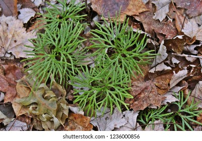 Type of liverwort growing on the forest floor