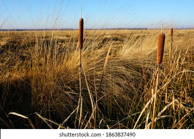 Typha latifolia, broadleaf cattail, bulrush, common bulrush, common cattail, cat-o'-nine-tails, great reedmace, cooper's reed, cumbungi in bog landscape. Blue sky