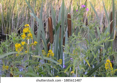 Typha latifolia (broadleaf cattail, bulrush, common bulrush, common cattail, cat-o'-nine-tails, great reedmace, cooper's reed, cumbungi). Natural green background