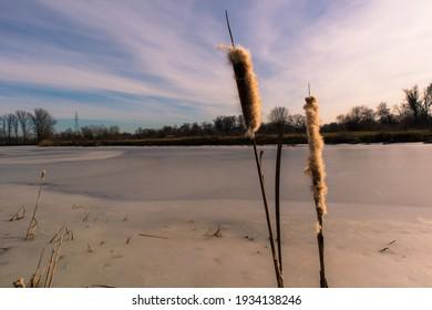 Typha latifolia (broadleaf cattail), bulrush, common bulrush, common cattail, cat-o'-nine-tails, great reedmace, cooper's reed, cumbungi