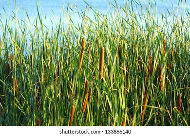 Typha latifolia, Common Bulrush, Broadleaf Cattail, blackamoor, flag, mace reed, water-torch