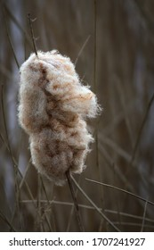 Typha latifolia known as Bulrush or cat-o'-nine-tails.