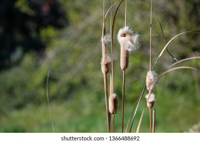 Typha seed heads dispersing seeds in the wind
