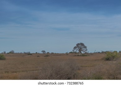 Typical African tree known as Imbondeiro. African plain. Angola.