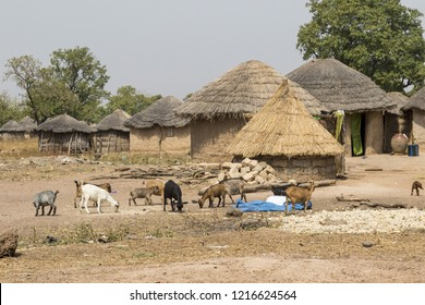 typical african village in ghana with goats