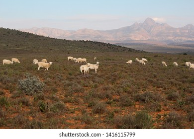 Typical arid Karoo landscape with White Dorper sheep grazing on open plains with the Cockscomb Mountain in the background.