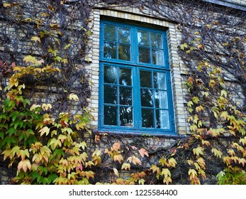 Typical autumn season urban scene - Fall Ivy Creeper colorful leaves on a wall of a house