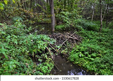 Typical beaver dam and marshes in central Europe. Beaver dams or beaver fills are dams built by beavers. Structures change the natural environment.