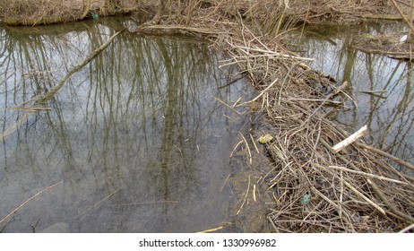 Typical beaver dam and swamp.Structures modify the natural environment Beaver dams or beaver impoundments are dams built by beavers.