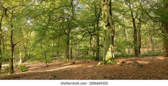 Typical British birch woodland in autumn