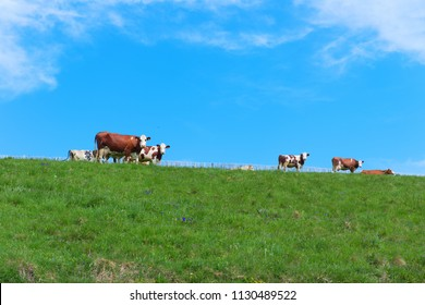 Typical cows in French Auvergne