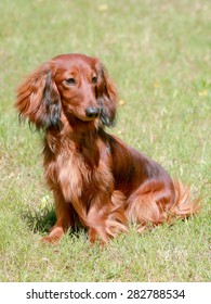 Typical Dachshund Long-haired dog in the garden