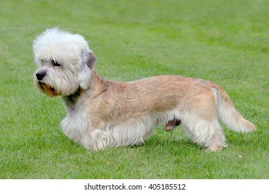 Typical  Dandie Dinmont Terrier  in the spring garden
