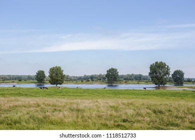 Typical Dutch Holsteins Friesian cows in green grassland with a river in Holland beauty