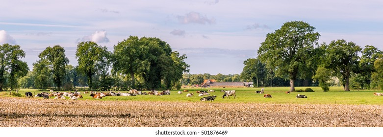Typical Dutch landscape with a farm and cows in a meadow
