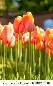 Typical Dutch orange tulips in closeup