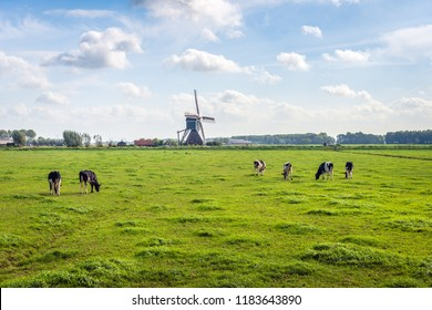 Typical Dutch polder landscape with a grazing cows in the meadow. An old windmill  is in the background. The photo was taken at the end of the summer season in the neighbourhood of Bleskensgraaf.