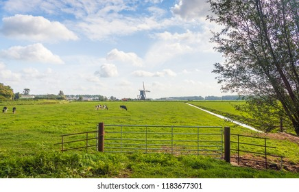 Typical Dutch polder landscape with a grazing cows in the meadow. An iron gate is in the foreground an old windmill  is in the background. The photo was taken at the end of the summer season.