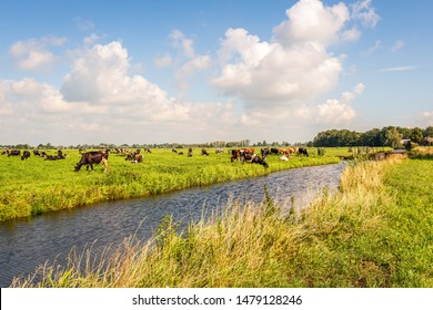 Typical Dutch polder landscape with grazing cows, a stram and white cummuls clouds in the blue sky. The photo was taken on a sunny day in the summer season near the village of Langerak, South Holland.