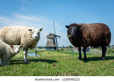 Typical Dutch rural scene, a black sheep and a white sheep with her cute lamb standing in the pasture, with on the background a windmill, Volendam, the Netherlands