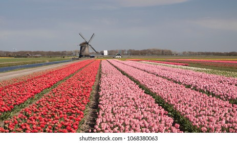 Typical dutch spring landscape with tulips and a windmill in the background.
