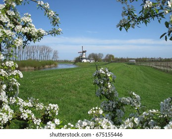 A typical Dutch windmill seen through blooming fruit trees in the Betuwe area in the Netherlands.