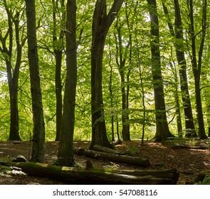 Typical english deciduous woodland