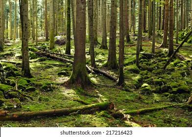 Typical fir forest reserve (Slovenia, EU)