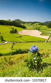 Typical flower in Azores in the foreground, green fields and cows in the background.