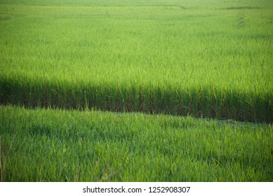 A typical green paddy field unique photo