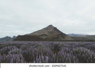 Typical Iceland landscape with mountains and lupine flowers field. Summer time