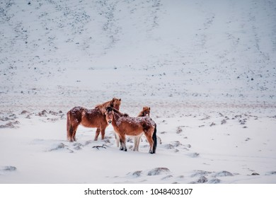 Typical Icelandic hairy horse grazing in snow blizzard. Iceland breed horse in wintertime in hard conditions snowy freezing winter at Iceland.